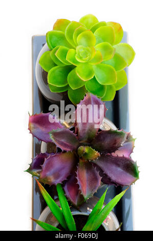 Potted Plants of Succulent on White Background, Close up.