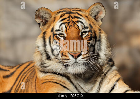 Portrait of a Bengal tiger (Panthera tigris bengalensis) - Stock Photo
