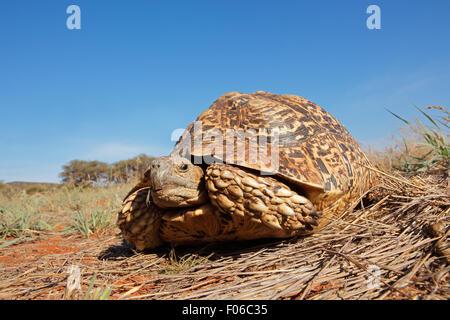 Leopard or mountain tortoise (Stigmochelys pardalis), South Africa - Stock Photo