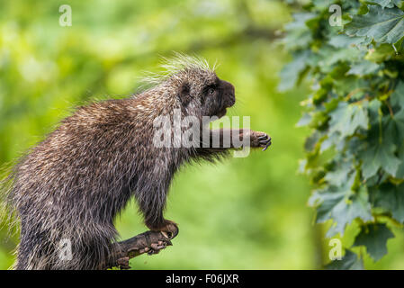 North American porcupine (Erethizon dorsatum) reaching for leaves - Stock Photo