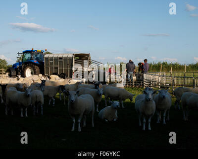 Farmers treating sheep, Glastonbury, Somerset, UK - Stock Photo
