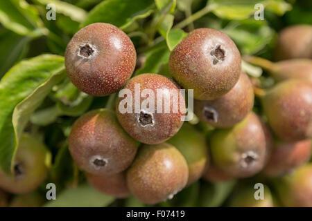 Pyrus communis 'Gieser Wildeman' pears growing in the Historical Garden Aalsmeer, a botanical garden in Aalsmeer, - Stock Photo