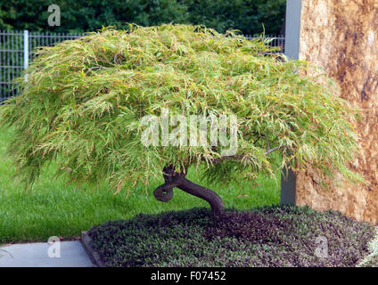 gruener, Faecherahorn, Acer, palmatum, - Stock Photo
