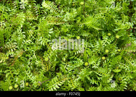 Fiederpolster, Laugenblume, Cotula, Squalida, Bodendecker - Stock Photo