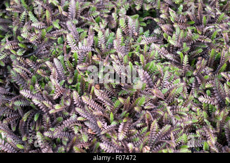 Fiederpolster, Laugenblume, Cotula Squalida, - Stock Photo