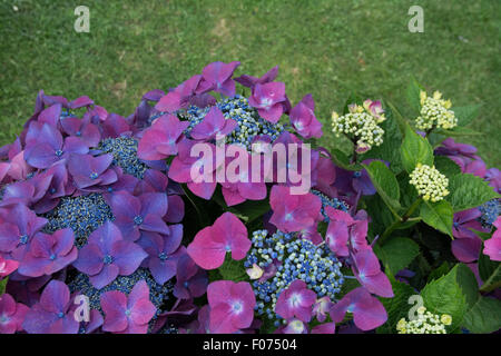 hydrangea macrophylla  kardinal violet teller series - Stock Photo