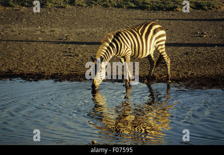 Burchells Zebra taken in profile looking left head down drinking from blue water with reflection - Stock Photo