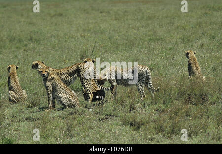 Cheetah mother standing on Serengeti surrounded by her five full grown cubs Stock Photo
