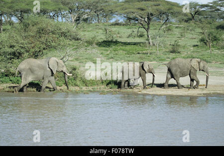 African Elephant three walking single file to right along the banks of a river in front of acacia woodland - Stock Photo