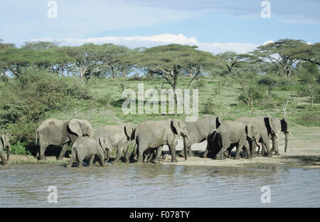 African Elephant group herd walking along the banks of a river in front of acacia woodland - Stock Photo
