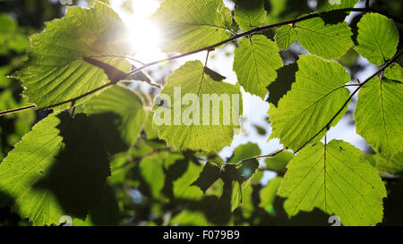 Common beech (Fagus Sylvatica) leaves backlit by the strong afternoon sun - Stock Photo