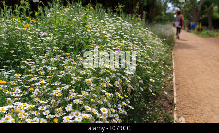 Ox-eye Daisies (Leucanthemum Vulgare) in a wild flower border at a country house - Stock Photo