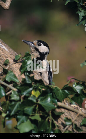 Great Spotted Woodpecker taken from front looking left from behind ivy covered log - Stock Photo