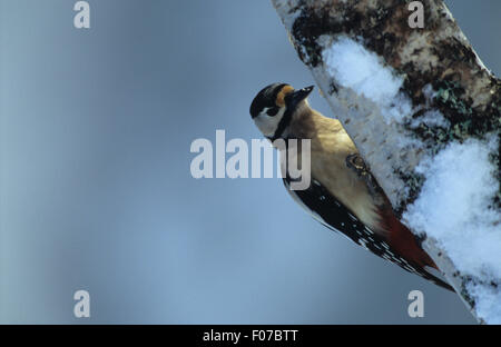 Great Spotted Woodpecker taken from front looking right perched on side of snow covered silver birch trunk - Stock Photo