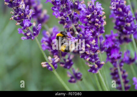 busy bee close up collecting pollen from purple lavender bush - Stock Photo