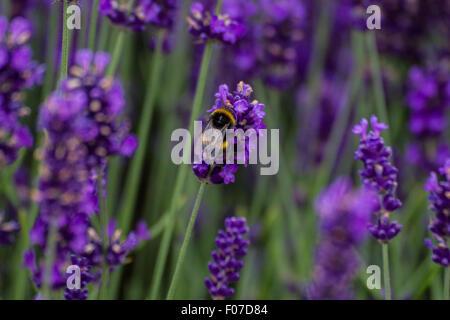 busy bee landing on purple lavender bush for pollen - Stock Photo