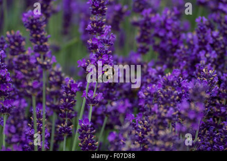 busy bee collecting pollen on purple lavender bush - Stock Photo