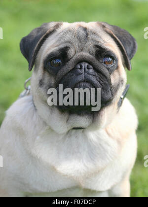 The portrait of Pug dog in the garden - Stock Photo