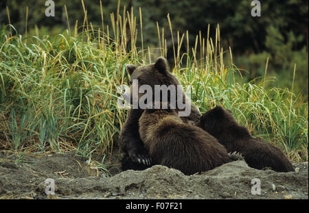 Grizzly Bear Alaskan female mother sitting in day bed in sand with two small cubs feeding nursing from her chest - Stock Photo
