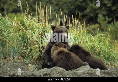 Grizzly Bear alaskan sitting in day bed in sand with two young cubs feeding from her - Stock Photo