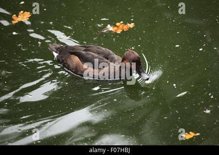 Ferruginous duck (Aythya nyroca), also known as the ferruginous pochard at Chomutov Zoo in Chomutov, North Bohemia, - Stock Photo