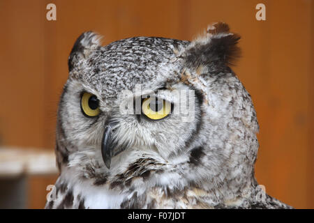 Great horned owl (Bubo virginianus), also known as the tiger owl at Jihlava Zoo in Jihlava, East Bohemia, Czech - Stock Photo
