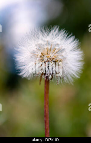 Dandelion in bloom - Stock Photo