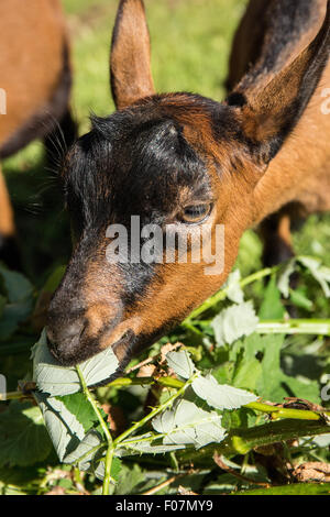 Close-up of a 11 week old Oberhasli goat eating blackberry bush vines, which it considers a treat, in Issaquah, - Stock Photo