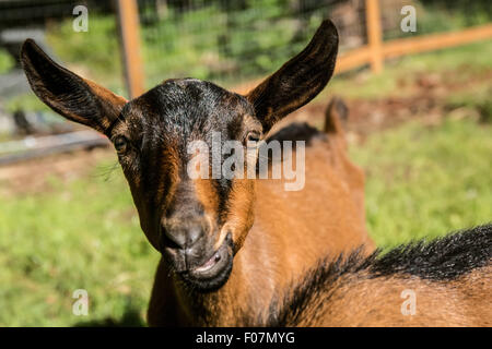 Close-up of a 11 week old Oberhasli goat, in Issaquah, Washington, USA - Stock Photo