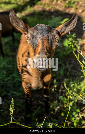 Close-up of a 11 week old Oberhasli goat in its pasture, in Issaquah, Washington, USA - Stock Photo