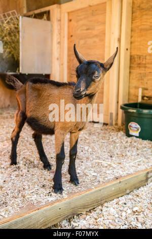 11 week old Oberhasli goat standing near its barn in Issaquah, Washington, USA - Stock Photo
