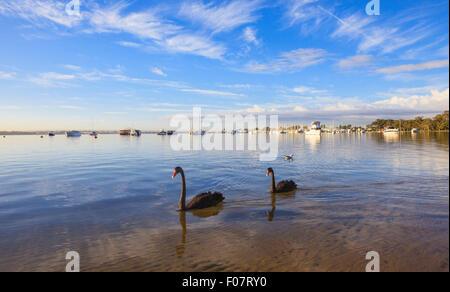 Black Swans (Cygnus atratus) on the Swan River at Matilda Bay Reserve.  Western Australia - Stock Photo