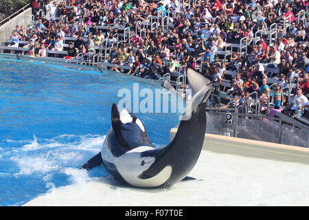 Killer whale performing at the park - Stock Photo