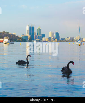 Black Swans (Cygnus atratus) on the Swan River at Matilda Bay Reserve with Perth city in the distance.  Western - Stock Photo
