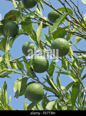 unripe oranges on a tree - Stock Photo