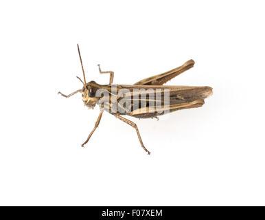 Feldheuschrecke, Acrididae, Grashuepfer, - Stock Photo