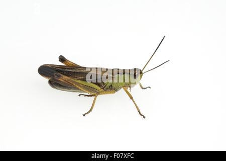 Feldheuschrecke; Chorthippus, biguttulus, - Stock Photo
