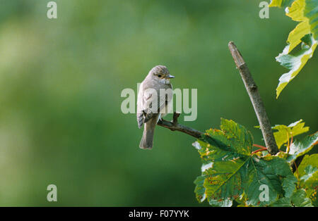 Spotted Flycatcher taken from back looking right over shoulder at camera perched on small twig - Stock Photo