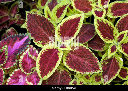 Buntnessel; Solenostemon scutellarioides; Coleus blumei, - Stock Photo