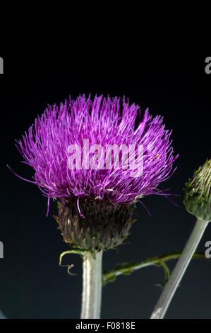 Verschiedenblaettrige, Kratzdistel, Cirsium helenioides - Stock Photo