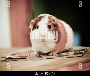 Guinea pig close up. - Stock Photo