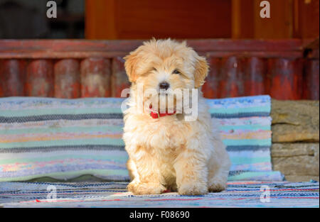Beautiful  reddish havanese puppy dog - Stock Photo