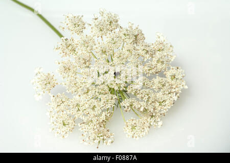 Wilde, Moehre; Bluete; Blueten; Daucus; Carota; - Stock Photo