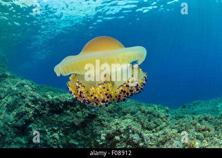 Mediterranean Jellyfish, Cotylorhiza tuberculata, Massa Lubrense, Campania, Italy - Stock Photo
