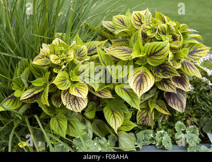 Buntnessel, Solenostemon, - Stock Photo