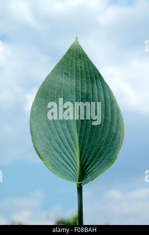 Hosta; Blaetter, leaves, Blaublattfunkie, Hosta, sieboldii - Stock Photo