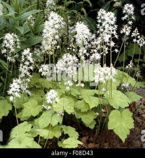 Schaumbluete, Tiarella, cordifolia, - Stock Photo