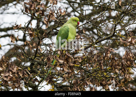 Rose-ringed parakeet, aka ring-necked parakeet, Psittacula krameri, in Richmond Park, Richmond, England, United - Stock Photo
