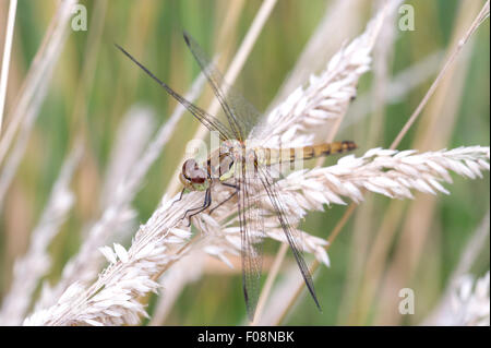 A Common Darter (Sympetrum striolatum) Dragonfly sits on long grass at Tophill Low Nature Reserve in East Yorkshire - Stock Photo