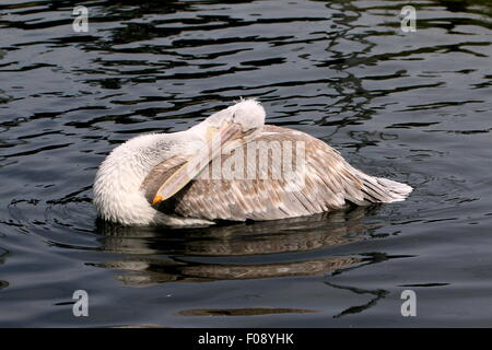 Eurasian Dalmatian pelican ( Pelecanus crispus) on a lake, preening his feathers - Stock Photo